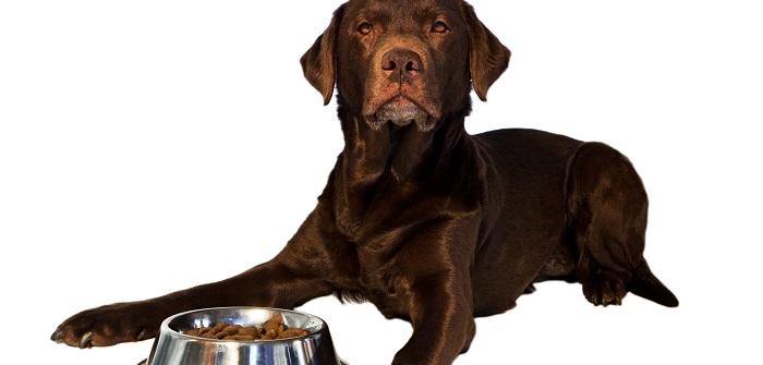 Labrador Retriever ob er gerade das Kennerfleisch von Renti in seinem Napf hat?